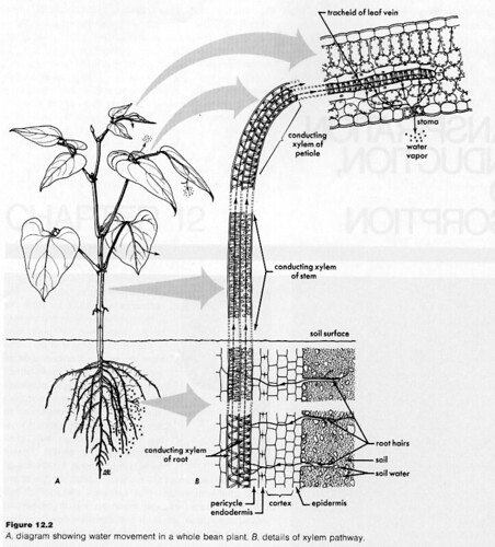 Movement of Water in Roots: 3 Pathways (With Diagram)