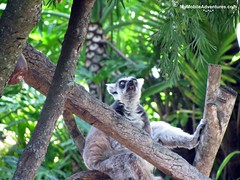 IMG_1363-WDW-DAK-ring-tailed-lemur