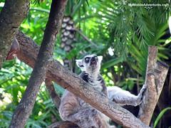 IMG_1363-WDW-DAK-ring-tailed-lemur