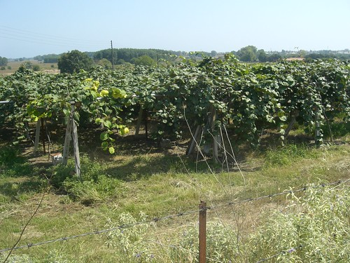 kiwifruit vine