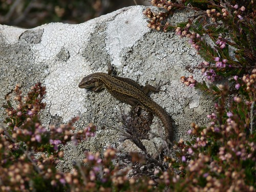 11456 - Common Lizard at Strumble Head