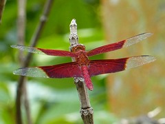 Red dragonfly resting on a tree branch (JoyceSeah_Singapore@flickr) Tags: red plants fern macro tree nature animal closeup fauna forest insect landscape mammal monkey spider leaf moss log flora singapore long natural dragonfly walk web ant tail funtime hill roots reserve banana cricket panasonic fungi trail gathering tropical trunk greenery 风景 自然 thieves primary 植物 hangout 树 primates macaque 生態 monitorlizard singaporean 动物 昆虫 longtailed 特写 新加坡 bukittimahnaturereserve vitaminj 蕨 子 保護區 tz7 zs3 vitaminjsccc 热带雨林,森林 水,青苔 vitaminj'sbukittimahnaturereserve 长尾,猿,猴 自然,动物