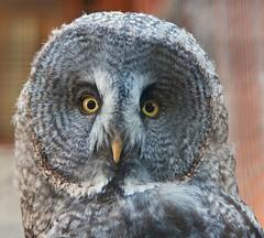 Great Grey Owl (John Mickleborough) Tags: yellow grey eyes nikon head greatgreyowl owl stare raptors potofgold distinguished mesmerising d300s nikonflickraward flickraward birdperfect newgoldenseal