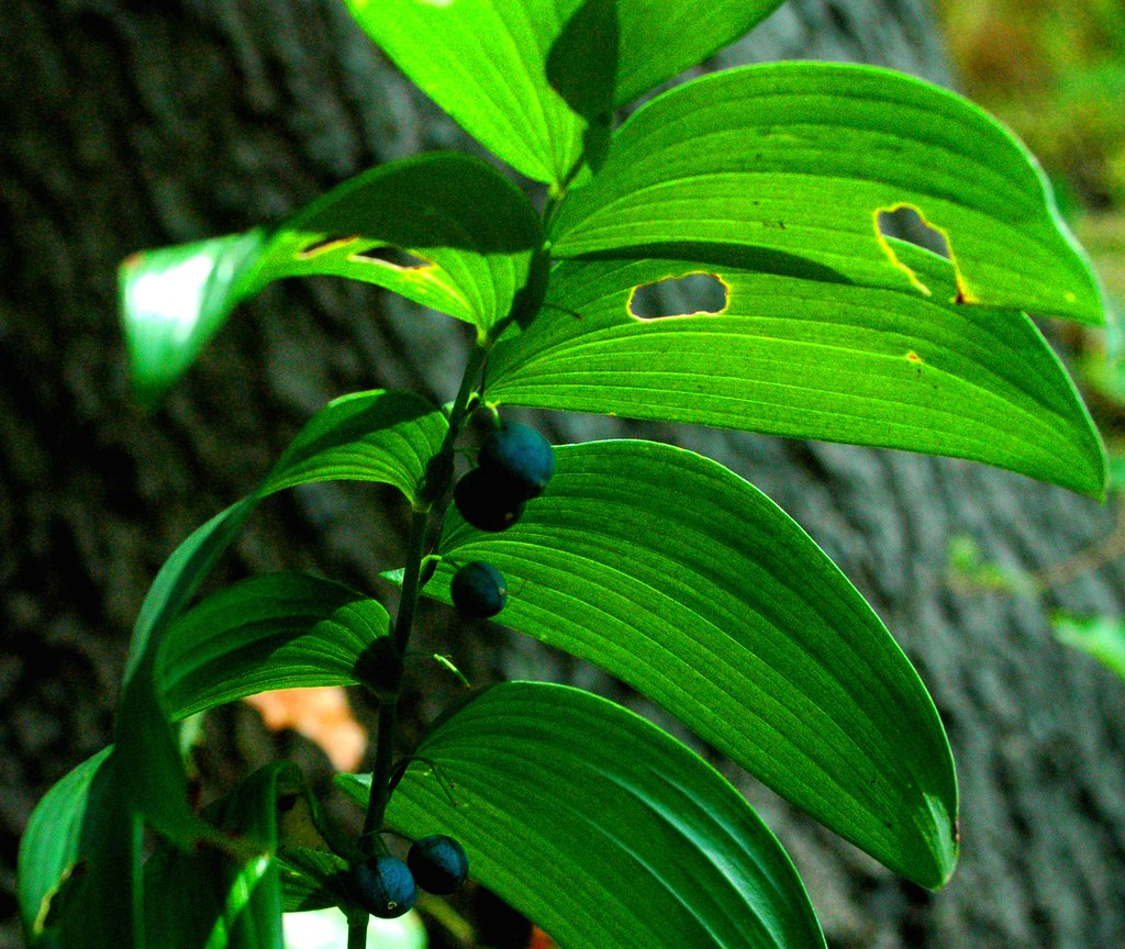 Solomon's Seal ......Polygonatum biflorum