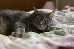 Smushy Face (Free2bJ.C.Photos) Tags: sleeping pet baby cat bed kitten gray kitty napping striped comforter smushy freyja canon50mmf18ii rawformat canon1dmarkiii allimagesareprotectedundertheunitedstatesandinternationalcopyrightlawsandmaynotbedownloadedreproducedcopiedtransmittedormanipulatedwithoutwrittenpermission ifyoupostphotosinyourcommentsonmyphotospleasemakesuretheyaretheflickrsmallsizethanksifyoupostlargersizeireservetherighttodeleteyourcomment