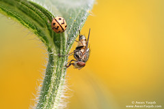Beauty and the beast (Awais Yaqub) Tags: blur nature colors yellow bug fly leaf colorful dof sharp bee sunflower ladybug canoneos hairs macrophotography closeencounter closerandcloser polan awais photostacking yaqub 100mmf28macro closertoreality alemdagqualityonlyclub