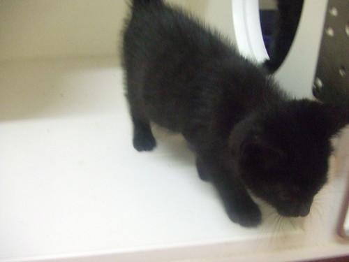 Kitten Short Hair Short Haired Black Kitten