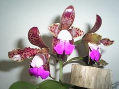 orquidea 01 nilgazzola (nilgazzola) Tags: de foto ou com tirada maquina nilgazzola