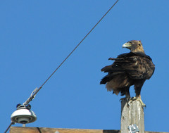 a golden eagle watches us leave