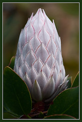 King Protea Flower Bud (TT_MAC) Tags: flower nature maui bud soe protea kingprotea proteacynaroides proteabud excellentsflowers mimamorflowers