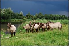 009 (Bargais) Tags: wild horse latvia latvija jelgava zirgi pilssala savvaļa