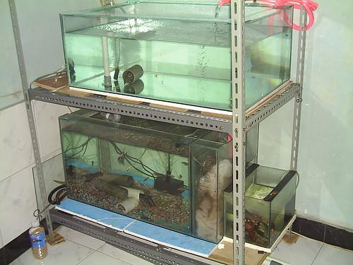 lobster air tawar lat atau freshwater crayfish merupakan binatang air