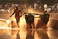 Running for life (Light and Life -Murali ) Tags: travel india man male race buffalo mud running run farmer moment tradition splash karnataka mangalore oof baradi moodbidri kambala baraadi img5370p1sc