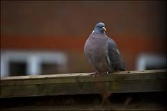Waiting For God Knows (strussler) Tags: bird canon fence garden eos sitting perched happynewyear 2010 throughawindow woodpigeon ef100400l 5dmkii dontforgetneda