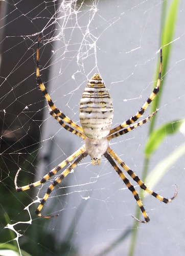 Female Banded Argiope, Dorsal View