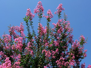 IMG_8108 Crape Myrtle in Full Bloom