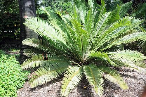 encephalartos tegulaneus4
