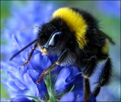 bumblebee (helena.e) Tags: flower macro bumblebee explore humla helenae helenab