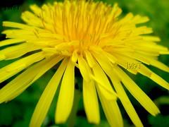 ดอกไม้จะบาน Yellow Petals of Perfect Flower