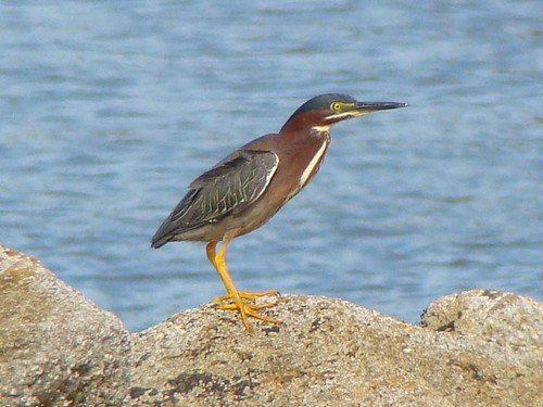 green heron crouch