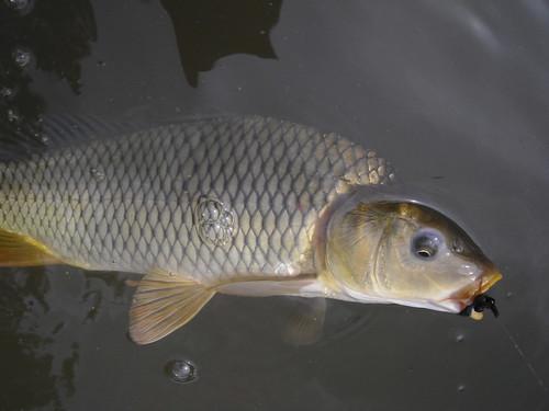 Carp in Water