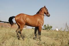 DSC_0154 (manu sharma303) Tags: horse india mare punjab patiala marwari