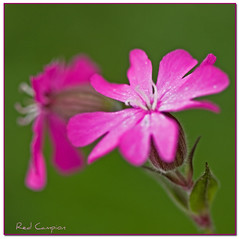Red Campion (inky2008.....) Tags: uk pink wild summer flower macro nature closeup canon naturereserve wildflower redcampion pleasington mywinners citrit theperfectphotographer naturestreasures dragonflyawards melandriumdioicum mamasbloomers pleasingtonnaturereserve