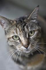 The Look (Lookaloopy) Tags: cat gatto look bokeh vladimiro cinquantino grazzano visconti gatti sguardo canon eos 450d naturalmente