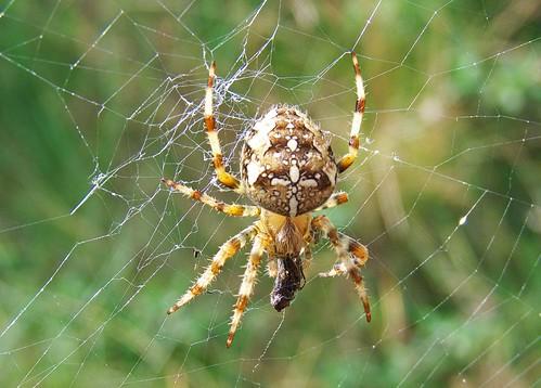 11440 - Garden Spider
