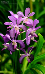 Orchid (Pkamo@Tai) Tags: trip travel flowers plant orchid nature beautiful thailand tour bokeh thai chiangmai    puykamo   nothofthailand   baiorchidfarm meatang