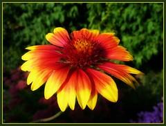 The blushed flower ... (ruschi_e) Tags: red flower rot yellow schweiz switzerland gelb blume abigfave anawesomeshot ruschie kunstplatzlinternational