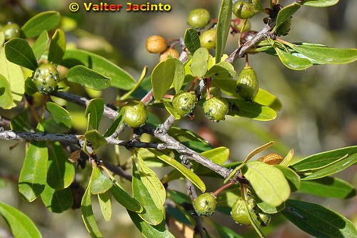 Espinheiro-preto (Rhamnus lycioides subsp. oleoides) -- nature portugal algarve biodiversity europe naturephotography flora plants plantae plantas rhamnus rhamnaceae