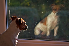 [フリー画像] [動物写真] [哺乳類] [イヌ科] [犬/イヌ] [ジャック・ラッセル・テリア] [窓辺の風景]     [フリー素材]