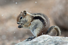 Golden-mantled Ground Squirrel (Judd Patterson) Tags: colorado rockymountainnationalpark stockphotography goldenmantledgroundsquirrel juddpatterson