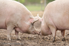 Pigs Kissing