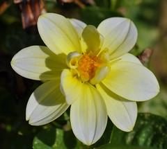 018 (pokerpro1) Tags: flowers flower macro nikon nikkor 105mm d90 topshots excellentsflowers natureselegantshots mimamorflowers flickrflorescloseupmacros panoramafotogrfico