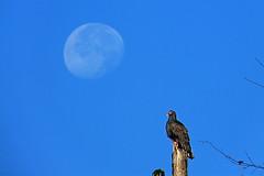 Early Morn (Happy_Peasant) Tags: moon luna vulture turkeyvulture abigfave craborchardnwr p27300921