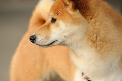 Suki-Bear (kaoni701) Tags: sanfrancisco red dog cute animal puppy japanese nikon profile fox suki dogpark shibainu shiba noevalley inu 70300 shibaken d300s petssukipark