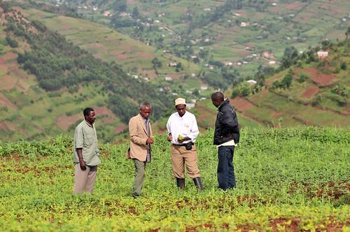 Ugandan farmers evaluating bean progress