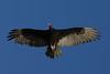 Turkey Vulture (Cathartes aura) (bayucca) Tags: charity mexico postcards bajacalifornia rotary turkeyvulture geier cathartesaura postkarten mineex stiftungmineex wohltätigerzweck foundationmineex