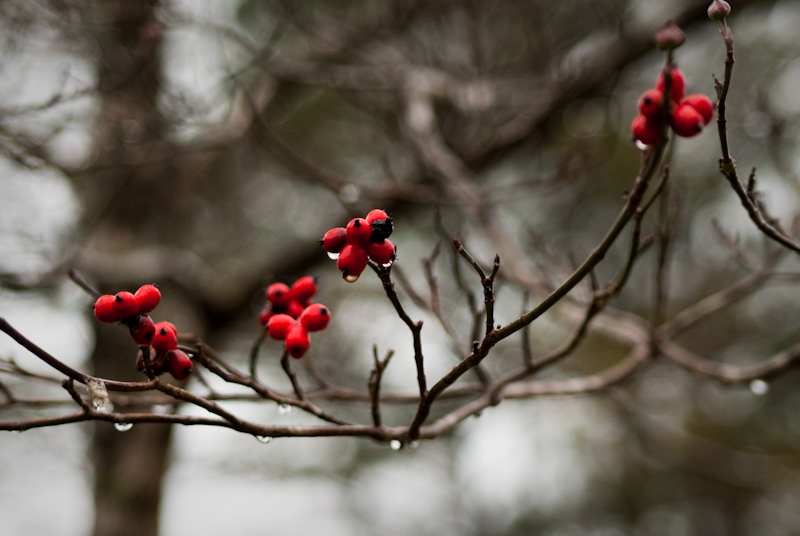 Day 44: Dogwood Berries