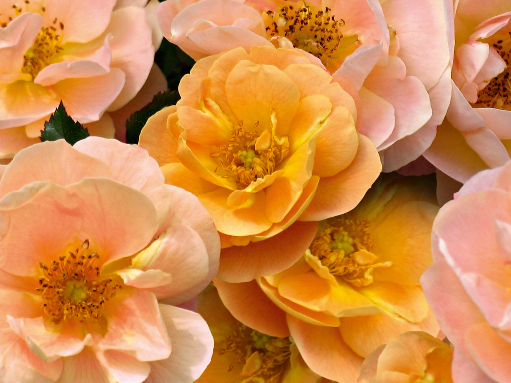 The worlds best photos of flowercarpetroses and rose flickr flower carpet amber roses closeup of flowers tesselaarusa tags pink roses plants dhlflorist Image collections