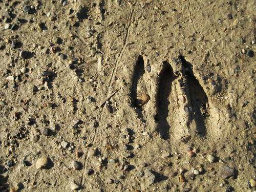 Deer tracks on the shore