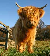 Highland Toffee (RoystonVasey) Tags: canon eos cow angle wide sigma moo explore highland jpg 20 1020mm toffee coo 400d impressedbeauty vosplusbellesphotos