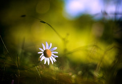 Daisies flower  in the sun, close up bokeh (czdistagon.com) Tags: landscape camomiles flora flowers dof bokeh voigtlander nokton f14 voigtlandernokton58mmf14sl fp explore ohhh 1000 frontpage harmonyplacewiner sonyphotochallenge 300fav czdistagon czdistagoncom aleksandrmatveev flower fresh field outdoor green meadow natural nature macro season beautiful spring chamomile daisy background grass plant nobody petal white summer yellow floral camomile blossom garden day blur idyllic grow closeup shallow wild sky herb beauty scenic sunlight defocused sunnya explorefrontpage front page volga distagon