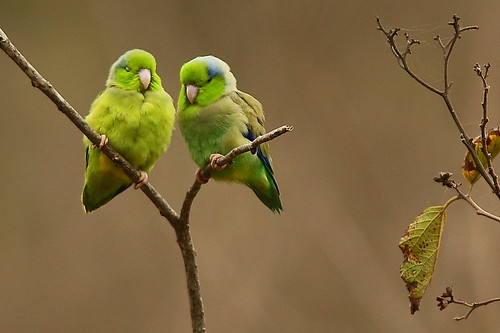 Pacific Parrotlet by jim lehmann