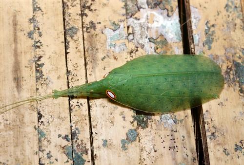 Phyllomimus sp. (Tettigoniidae: Pseudophyllinae)