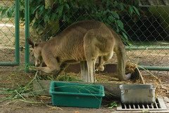 Dangling (Steven Wong (ATKR)) Tags: macro male animal animals jack zoo balls pa national kangaroo malaysia steven wong siew testicles por negara lum stryker wsp atkr