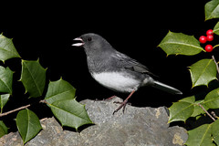 Happy Holly Days! (Steve Byland) Tags: bird nature canon junco holly 7d blueribbonwinner hyemalis darkeyed vosplusbellesphotos