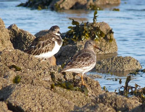 12197 - Purple Sandpiper and Turnstone at Port Eynon